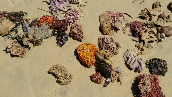 Coral after a storm Dickies Beach 0ct 2017
